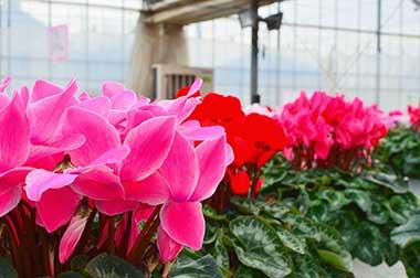 タカヒロ花園シクラメンハウス内風景